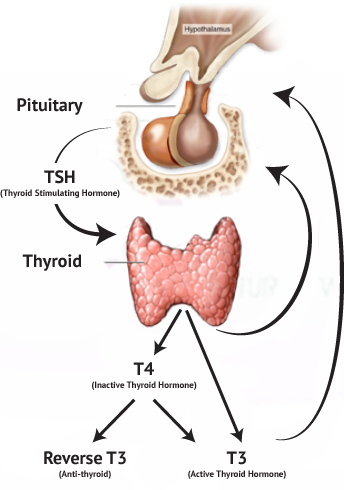 Thyroid - Mukilteo Everett Lynnwood Edmonds - Specialty Natural Medicine